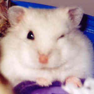 Hamsters__winking_hammie_02